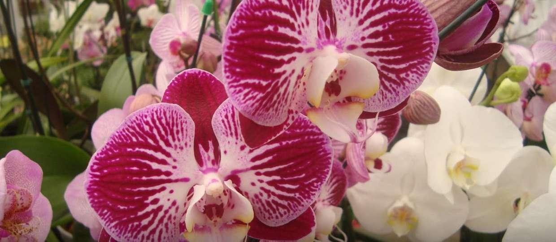 orquideas fest